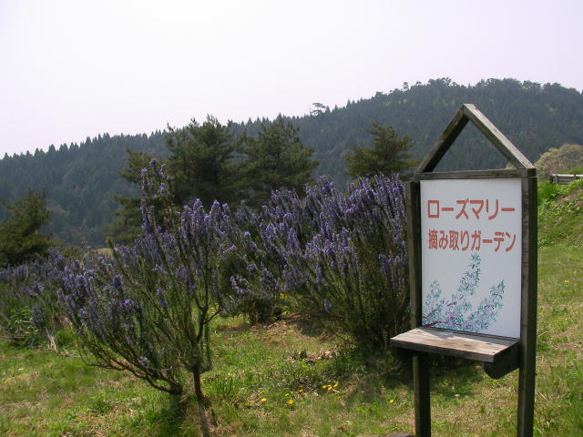 ローズマリー畑
